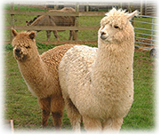 Two alpacas observe the surroundings on a New Mexico farm.