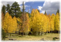 Aspen trees in the fall in Northern New Mexico.